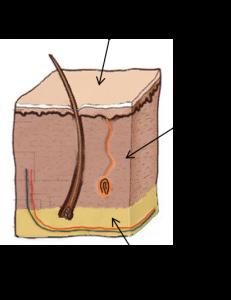כוויות - שכבות העור - קורס עזרה ראשונה